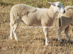 Kreuzungslamm Exlana / Easy Care Schafe