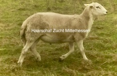importierter Exlana Schaf Bock