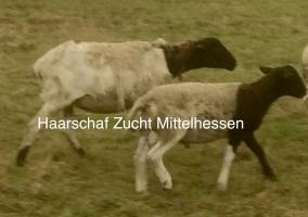 Mischling Dorper / Kamerun Schaf