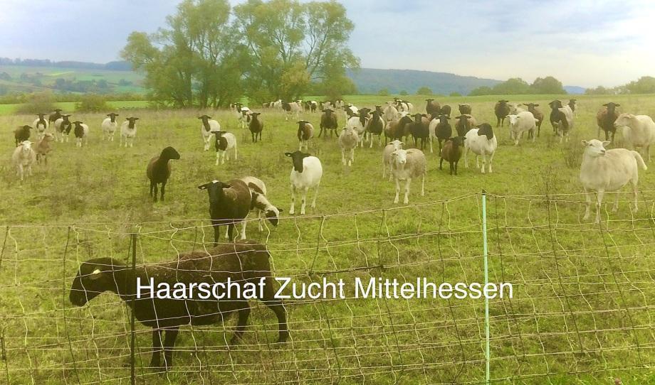 Haarschafe gezüchtet in Mittelhessen